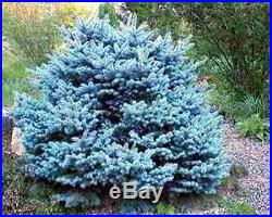 COLORADO BLUE SPRUCE (Picea pungens) SEEDS Evergreen Bonsai Tree 20Pack