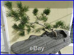 Custom Made Japanese Black Pine Bonsai Tree On Rock