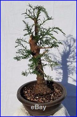 California Coast Redwood Bonsai Tree