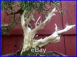 California Juniper bonsai specimen