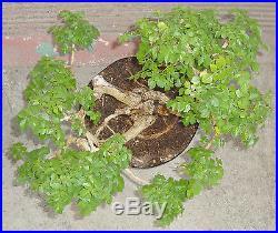 Cape Honeysuckle Pre Bonsai Dwarf Shohin Big Fat Large Huge Stump Trunk Flowers