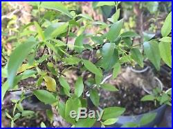 Cây Mai Chiu Thu Pre Bonsai #9 lá kim nh -Water Jasmine (Wrightia religiosa)
