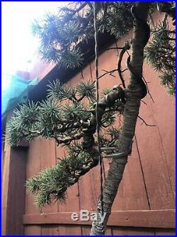Cedar Bonsai Specimen