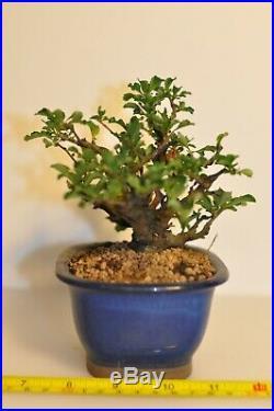 Chaenomeles Japonica Chojubai, Japanese Dwarf Flowering Quince Bonsai