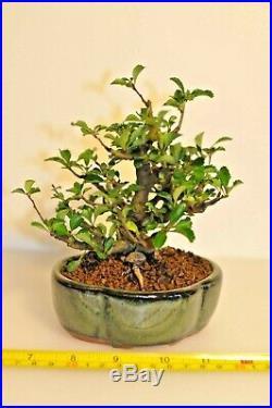 Chaenomeles Japonica Chojubai Specimen, Japanese Dwarf Flowering Quince Bonsai