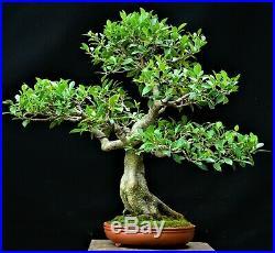 Chinese Banyan (Tiger bark) Ficus microcarpa bonsai medium size