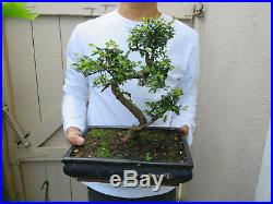 Chinese Elm Bonsai Bonsai Tree / Ulmus parvifolia Bonsai Tree