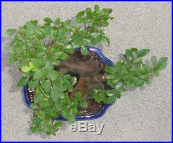 Chinese Elm Bonsai Shohin Dwarf Nice Movement Big Fat Trunk A1