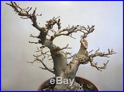 Chinese Elm Bonsai Tree Classic Style J