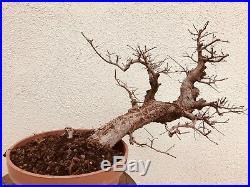 Chinese Elm Bonsai Tree Classic Style K602