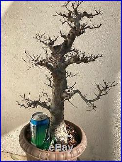 Chinese Elm Bonsai Tree Classic Style K901