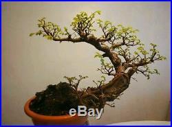 Chinese Elm Bonsai Tree, Informal Upright Style SS750