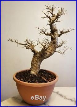Chinese Elm Bonsai Tree, Moyogi Style (USPS Priority 1-3)