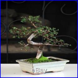 Chinese Elm Bonsai Tree New