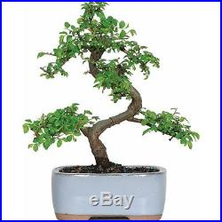 Chinese Elm Bonsai Tree indoor outdoor Free Shipping NEW