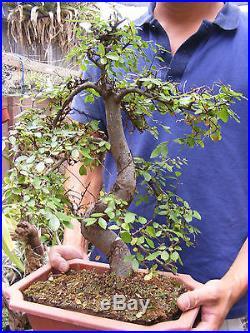 Chinese Elm Bonsai Trunk 1.5 diameter