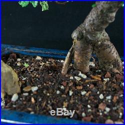 Chinese Elm Chuhin Bonsai Tree Ulmus parvifolia # 3732