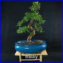 Chinese Elm Chuhin Bonsai Tree Ulmus parvifolia # 3748