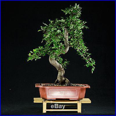 Chinese Elm Chuhin Bonsai Tree Ulmus parvifolia # 4341_1