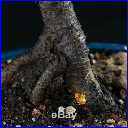 Chinese Elm Chuhin Bonsai Tree Ulmus parvifolia # 5701