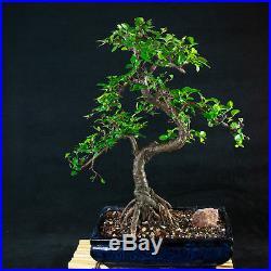 Chinese Elm Chuhin Bonsai Tree Ulmus parvifolia # 5712