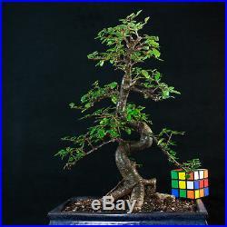 Chinese Elm Chuhin Bonsai Tree Ulmus parvifolia # 5733