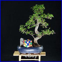 Chinese Elm Chuhin Bonsai Tree Ulmus parvifolia # 8982_1
