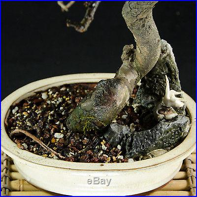 Chinese Elm Kifu Bonsai Tree Chinese Art Of Landscape Penjing # 1675-1