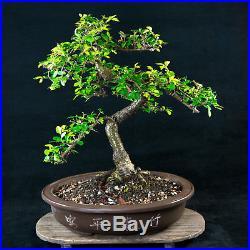 Chinese Elm Kifu Bonsai Tree Ulmus parvifolia # 4435