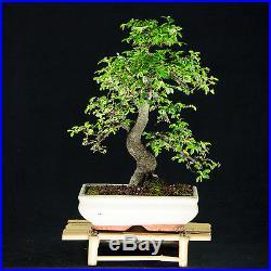Chinese Elm Kifu Bonsai Tree Ulmus parvifolia # 8979_1