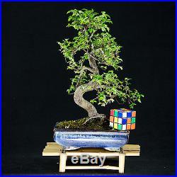 Chinese Elm Kifu Bonsai Tree Ulmus parvifolia # 8995_1