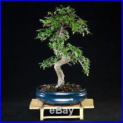 Chinese Elm Kifu Bonsai Tree Ulmus parvifolia # 9076_1