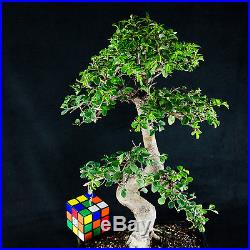Chinese Elm Kifu Bonsai Tree Ulmus parvifolia # 9968_1
