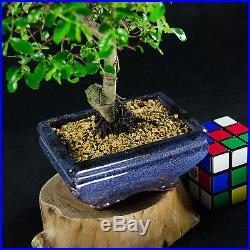 Chinese Elm Mame Shohin Bonsai Tree Ulmus parvifolia # 0744
