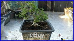 Chinese Elm Pre bonsai