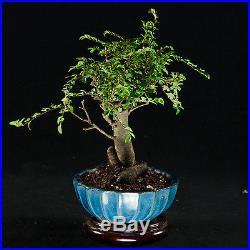 Chinese Elm Shohin Bonsai Tree Ulmus parvifolia # 9418_1