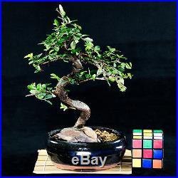 Chinese Elm Shohin Bonsai Tree Ulmus parvifolia # 9908_1
