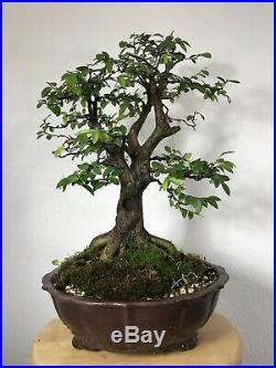 Chinese Elm Specimen Bonsai Tree In Yixing Zisha Unglazed Show Quality Pot