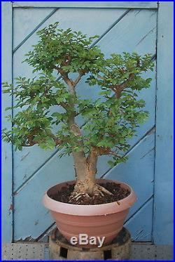 Chinese Elm Tree Bonsai E420, 23'H
