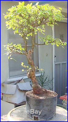 Chinese Elm Ulmus Pre Bonsai Dwarf Shohin Nice Movement Big Fat Trunk