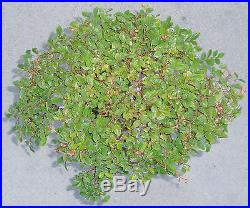 Chinese Elm Ulmus Pre Bonsai Dwarf Shohin Nice Movement Big Fat Trunk A1