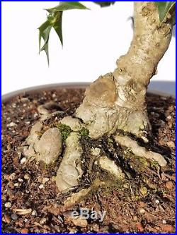 Chinese Holly Bonsai Tree