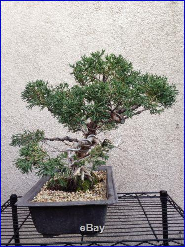 Chinese Juniper Shimpaku Bonsai (with deadwood, shari, and good nebari)