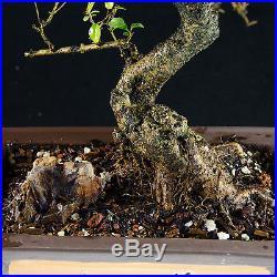 Chinese Privet Kifu Bonsai Tree Ligustrum Sinense # 9282_1