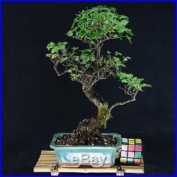 Chinese Privet Kifu Bonsai Tree Ligustrum Sinense # 9833_1