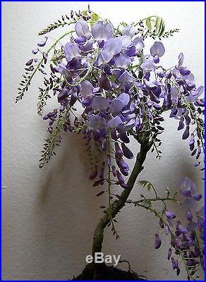 Chinese Purple Wisteria for blooming shohin mame bonsai tree multiple listing