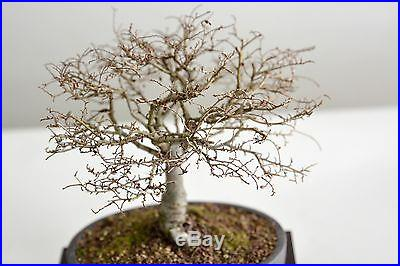 Chinese elm broom bonsai shohin no reserve