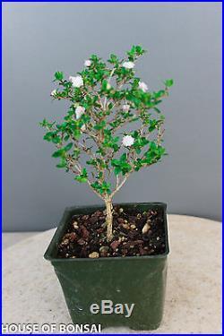Chinese flowering white serissa bonsai tree 4 pot /Tree of thousand star