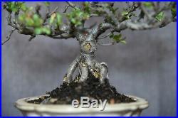 Chojubai Quince Bonsai tree shohin