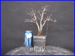 Chuhin Swamp Oak Bonsai PENNY START & NO RESERVE